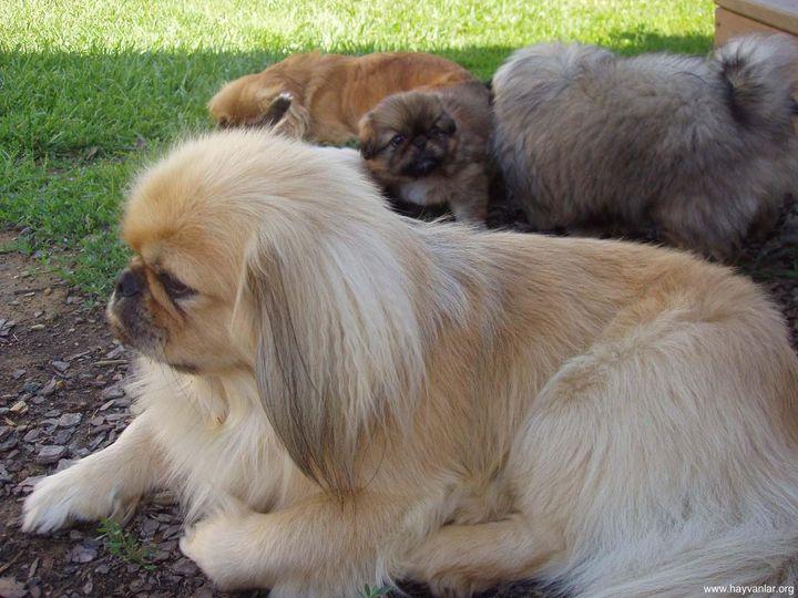 Королевский пекинес фото, фото собак породы пекинес, фотографии щенков...